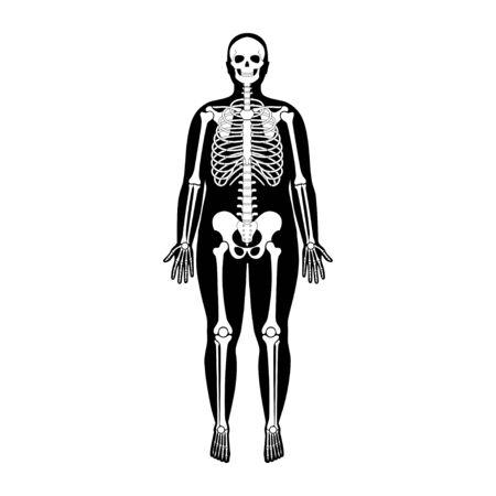 Human man skeleton anatomy Standard-Bild