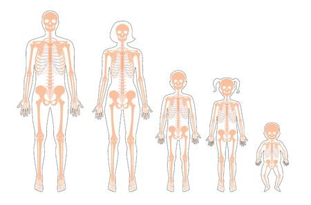 Human skeleton of different ages