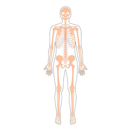 Human man skeleton anatomy Ilustrace