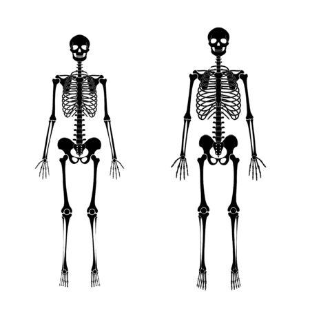 Woman and man skeleton anatomy