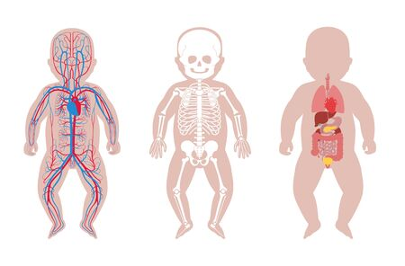 Internal structure of baby body.