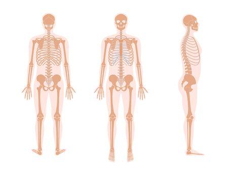 Human man skeleton anatomy Ilustracje wektorowe