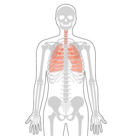 Human skeleton anatomy.