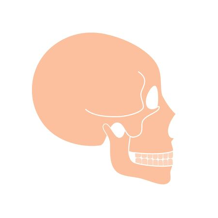 Human skull anatomy. Flat vector medical illustration isolated. Structure of facial skeleton profile. Cranium diagram. Educational, science poster. Lateral side view .