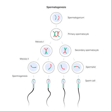 Reproductive system concept Vector Illustration