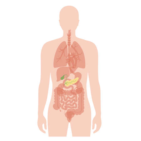 Vector isolated illustration of pancreas, duodenum and gallbladder anatomy in male body. Human digestive system icon. Healthcare medical center, hospital, clinic . Internal organ symbol poster