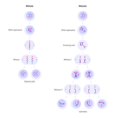 Mitosis and meiosis Иллюстрация