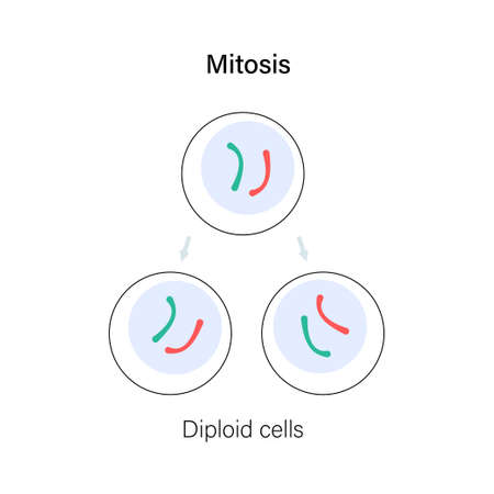 Mitosis cell division. Diploid animal cells. DNA and human reproductive system concept. Medical, biology or anatomical banner or poster for clinic or genetic center. Flat simple vector illustration. Illustration