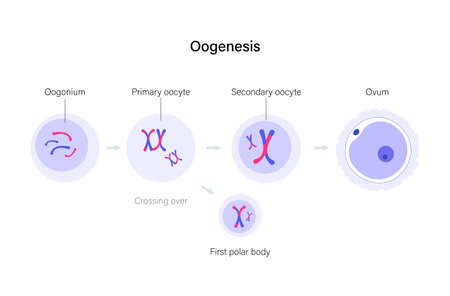 Oogenesis and cell division. Diploid cells. DNA replication and human reproductive system concept. Medical, biology or anatomical poster for clinic, genetic center. Flat simple vector illustration Illustration