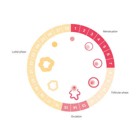 Menstrual cycle diagram. Woman health concept. Menstruation phases. Ovum development. Pergnancy and ovulation medical poster for clinic. Flat vector illustration. Female reproductive system.