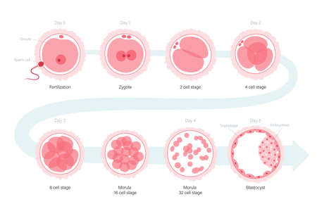 Embryo development concept. Insemination and fertalization. Female and male egg cell icon. Human sexual reproductive system and pregnancy flat vector illustration. Diagram for clinic, lab, education. Illustration