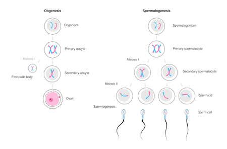 Reproductive system concept Vektorové ilustrace