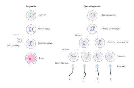 Reproductive system concept