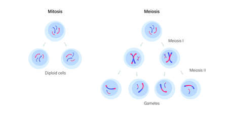 Mitosis and meiosis Illustration