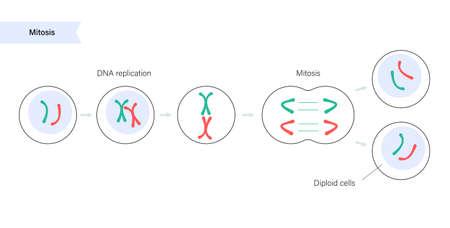 Mitosis cell division. Vektorové ilustrace
