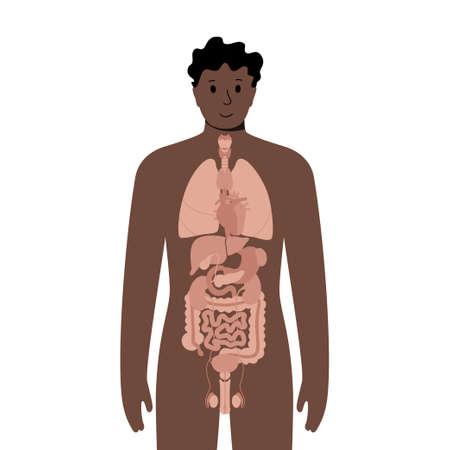 Internal organs in male body Vector Illustration