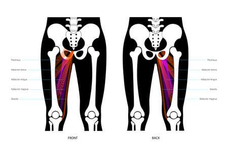 Muscular system legs Vector Illustratie
