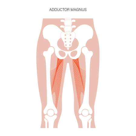 Muscular system legs