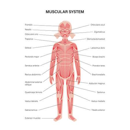 Human muscular system Vektoros illusztráció