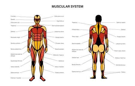 Human muscular system Vector Illustratie