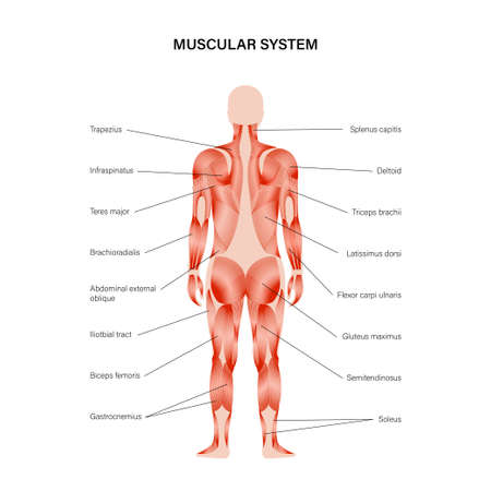 Human muscular system