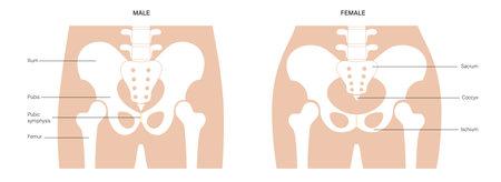 Human pelvis joints