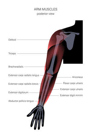 Muscular system arms