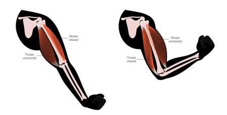 Biceps and triceps anatomy illustration 矢量图像
