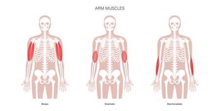 Human arm muscles illustration 矢量图像