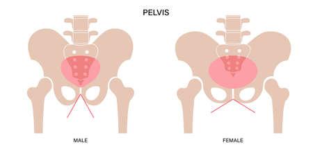 Muscular pelvis concept