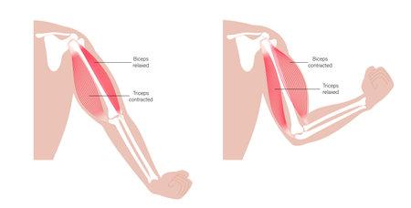 Biceps and triceps anatomy 矢量图像