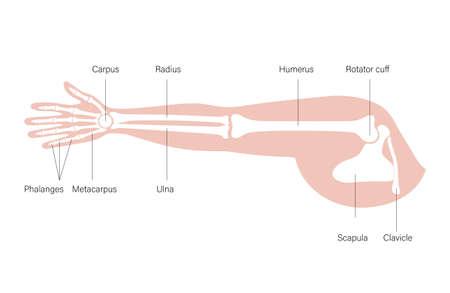 Arm bones poster illustration