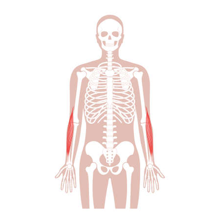 Muscular system arms illustration