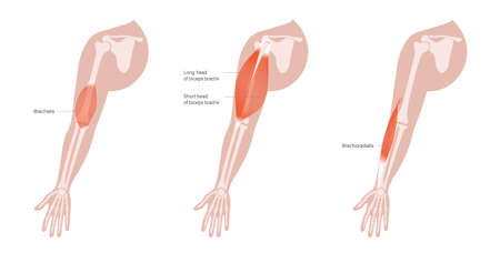 Human arm muscles Vettoriali