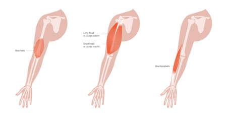 Human arm muscles 向量圖像