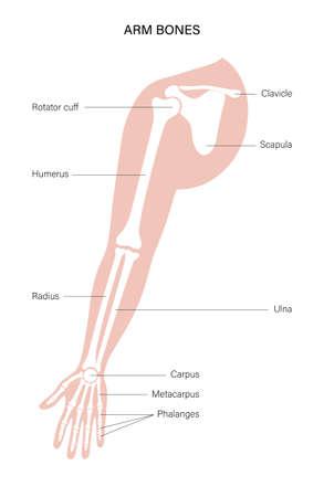 Arm bones poster