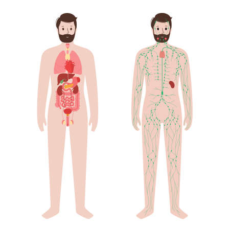 Organs and lymphatic system