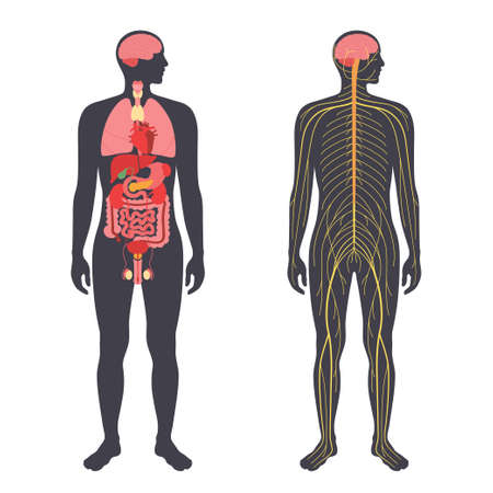 Organs and nervous system