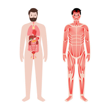 Organs and muscles