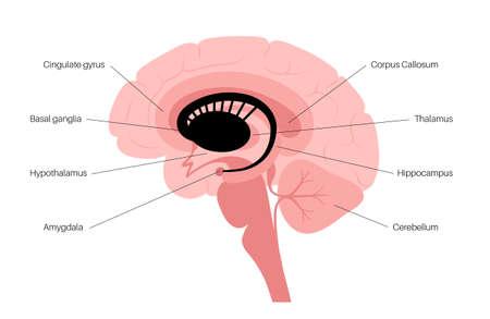 Basal ganglia anatomy Ilustración de vector