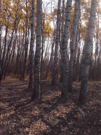 Through the poplar trees Reklamní fotografie