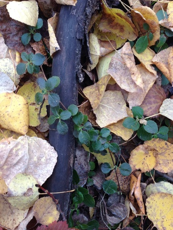 ground cover: Green vine on fall ground cover
