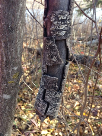 Bark splitting off a tree in the fall Stock Photo