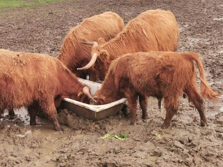 Scottish highland race. Cows graze on a muddy paddock.