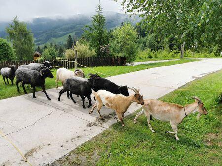 Poland Pieniny Mountains. Goats crossing the road. Archivio Fotografico
