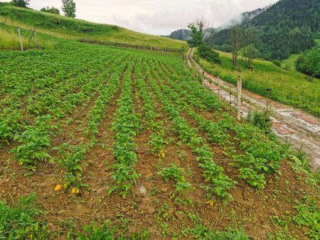 Poland Pieniny Mountains. Potato cultivated field.