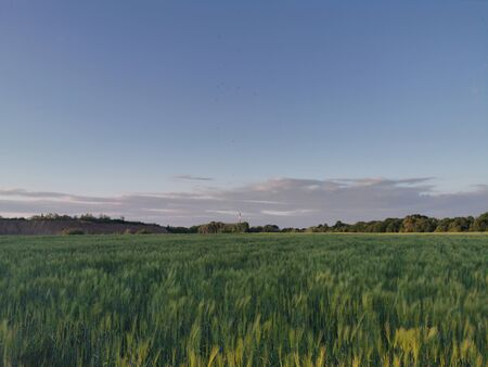 Poland Chorzow. Barley field in the evening.
