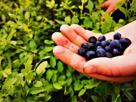 Blueberry (Vaccinium myrtillus). Blueberry fruit on hand.