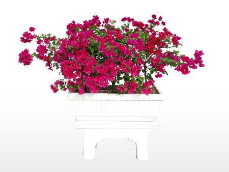 Flowering flower in the pot through cuttings available for cutting. On your design.