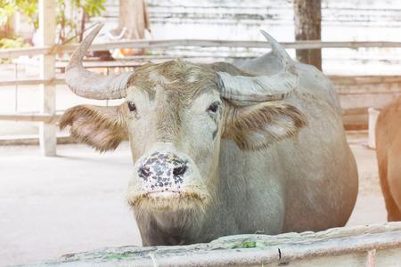 albino: Closeup face and the eyes of the albino buffalo Thailand.